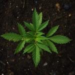 Zastosowanie medycznej marihuany – jakie choroby leczy