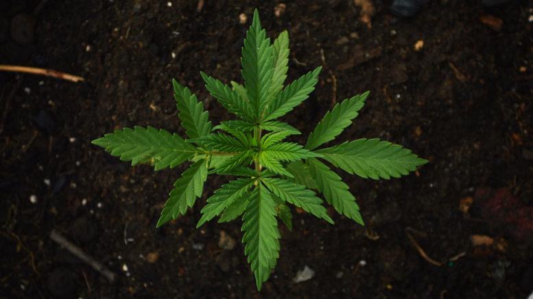 Marihuana - sadzonka marihuany