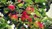 jabłoń polska