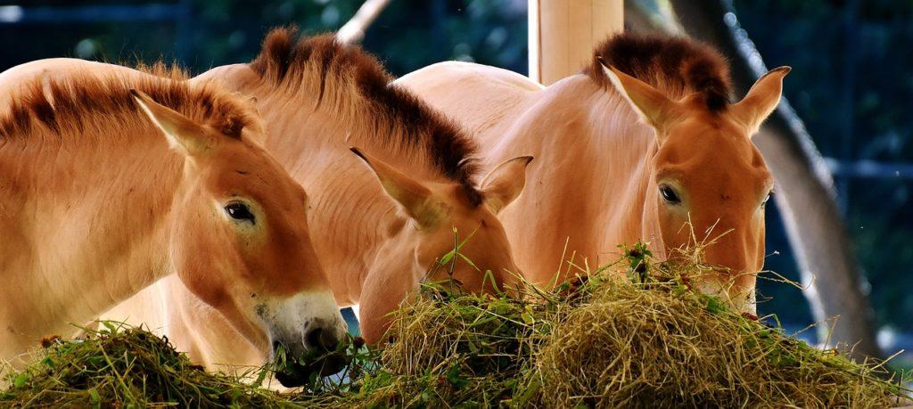 alt= konie karmione i pielęgnowane są przy pomocy uczestników obozu